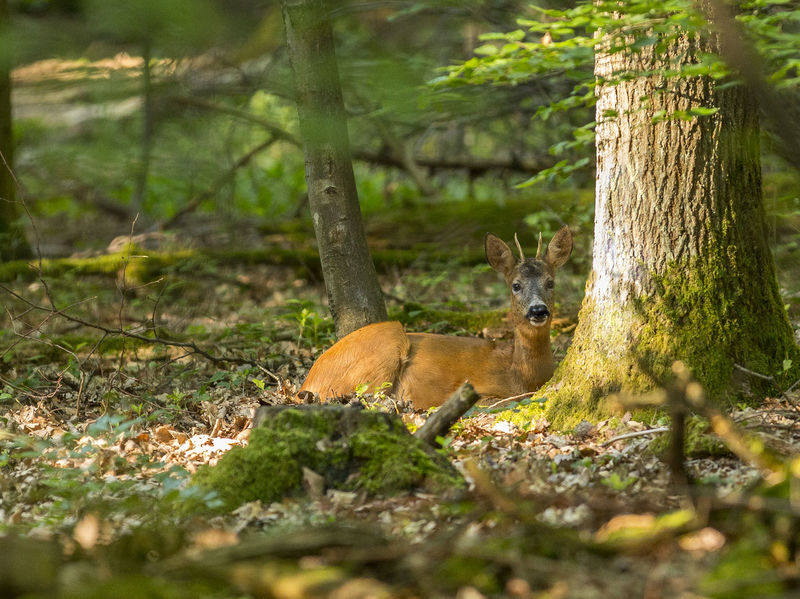 Wild Im Wald Animal Wildlife Animals In The Wild Dear Forest Nature One Animal Outdoors Reh Wald
