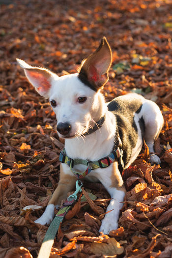 Animal Animal Themes Autumn Canine Change Dog Domestic Domestic Animals Field Jack Russell Terrier Land Leaf Leaves Looking At Camera Mammal Nature No People One Animal Outdoors Pets Plant Part Purebred Dog Small Vertebrate