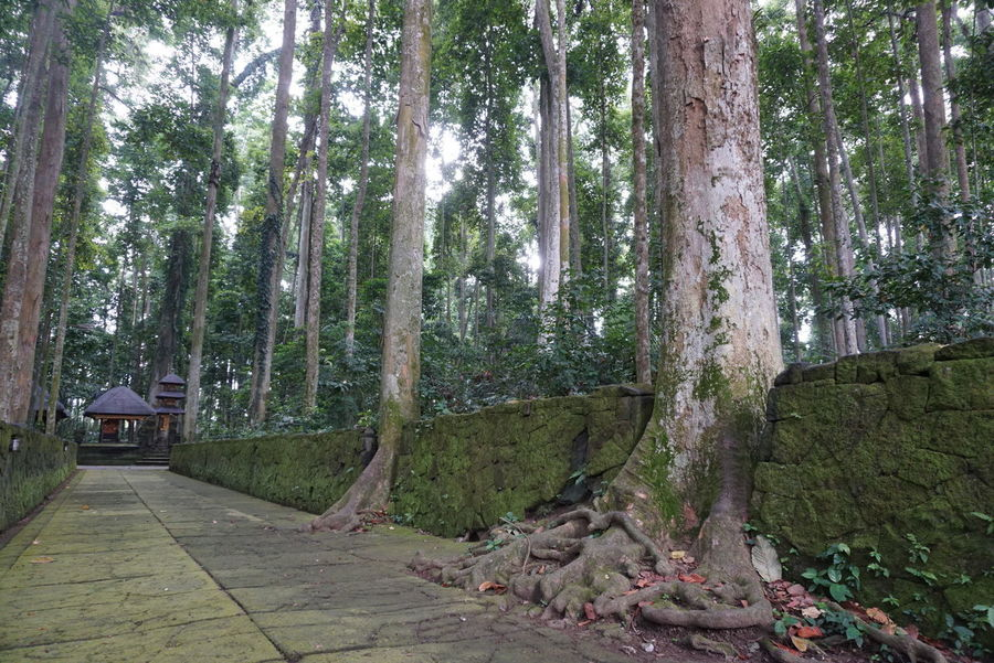 natural ancient trees with monkey in sangeh village badung regency - bali Ancient Trees Natural Trees Baground Hindu Temple No Edit/no Filter No People Sangeh Monkey Forest