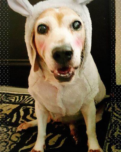 Happy 2016 Mymilinbaby Beagle