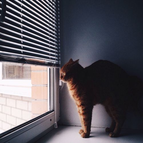 Side View Of Ginger Cat Looking Through Window
