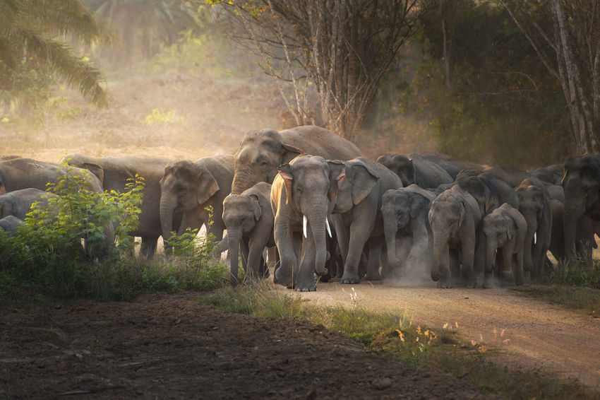 Thai elephant in wild African Elephant Animal Animal Family Animal Themes Animal Wildlife Animals In The Wild Day Domestic Animals Dust Elephant Forest Group Of Animals Herbivorous Herd Land Large Group Of Animals Mammal Nature No People Outdoors Plant Tree Vertebrate