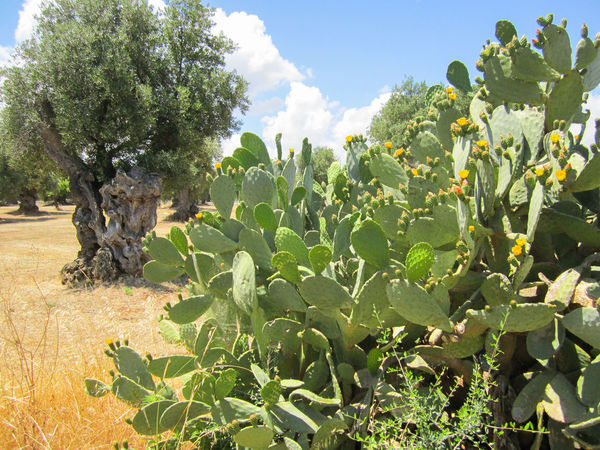 Prickly pear cactus and olive tree Apúlia Cactus Green Holiday Mediterranean Sea Nature Olive Tree Prickly Pear Cactus Puglia Rural Rustic South Sunny Tree Countryside Coutryside Flower Italy Outdoor Prickly Pear Salento Secular Summer Sun Valle D'itria