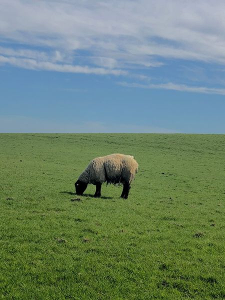 Sheep Pecora Mammal Grass Field Cloud - Sky Nature Landscape Day Land Beauty In Nature No People