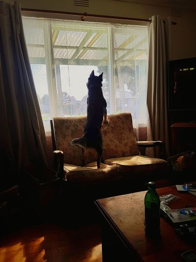 Loungeroom Dog Excited Looking Through Window Home Interior Drapes  See Through Curtain A New Beginning EyeEmNewHere