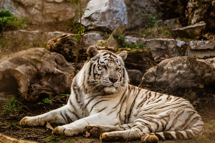 Beautiful portrait of a tiger. tiger lying down and looking into the distance.
