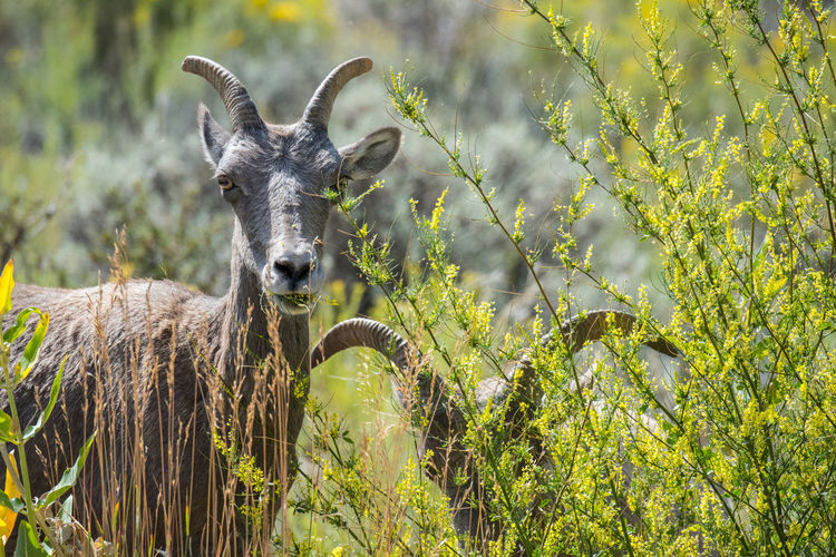 Sep 2018 - Black Canyon, Colorado Rocky Mountains USA Big Horn Sheep Two Animals Animal Animal Themes Animal Wildlife Animals In The Wild Day Field Focus On Foreground Herbivorous Land Looking At Camera Mammal Nature No People Outdoors Plant Portrait Vertebrate Grazing Foraging Hoofed Mammal Flock Of Sheep