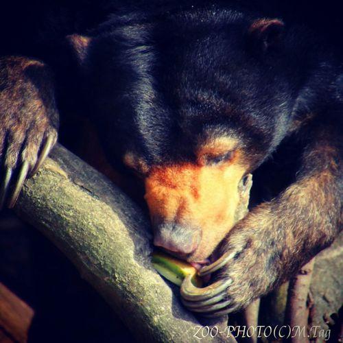 Animals Zoo 上野動物園 ZOO-PHOTO マレーグマ 爪 かわいい♡ お昼寝 そろそろ爪切らないとね☆