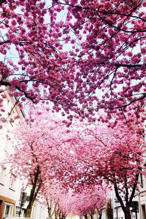 Cherry Blossoms Tree Flower Low Angle View Pink Color Built Structure Growth Architecture Cherry Tree Branch Building Exterior No People Flower Tree Outdoors City Cherry Blossom Blossom Sky Fragility Pink Nature Bonn Kirschblüten  Millennial Pink Lost In The Landscape