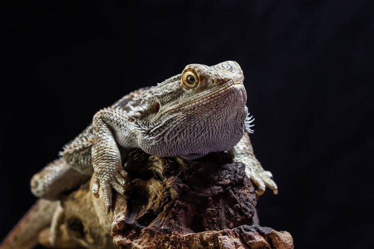 Close-up of lizard on rock against black background