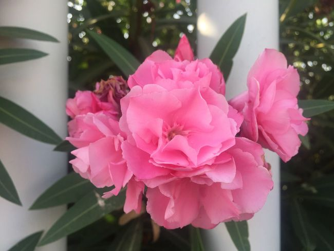 Plant Flower Flowering Plant Pink Color Freshness Vulnerability  Beauty In Nature Plant Flower Flowering Plant Pink Color Freshness Vulnerability  Beauty In Nature Fragility Petal Close-up Flower Head Growth Leaf Focus On Foreground No People Day Outdoors Plant Part