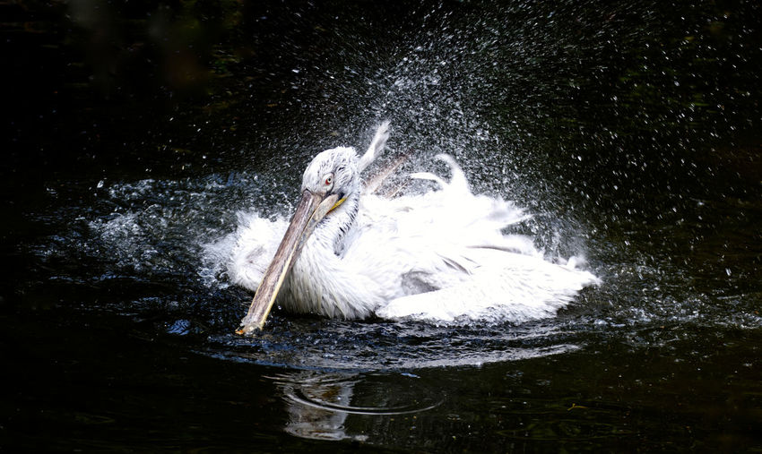 Motion Nature Outdoors Pelican Pelikan Splashing Water Zoo Backgrounds No People Animal Themes Bird Waterdrops