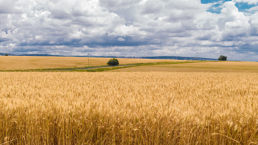 Field of golden wheat. Shallow depth of field. Field Cereal Wheat Golden Agriculture Cloudy Cloudy Day Farm Farm Field Growth Nature Plant Rural Scenes Wheat Backgrounds Cereal Plant Countryside Crop  Environment Food Golden Grain Harvest Nobody Rural Landscape Sky Summer Yollow