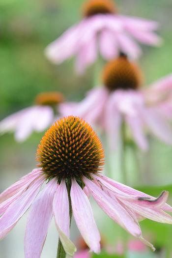 Antiviral Beauty In Nature Coneflower Eastern Purple Coneflower Echinacea Purpurea Flower Medicinal Plant Perennial Herb Petal Pollen