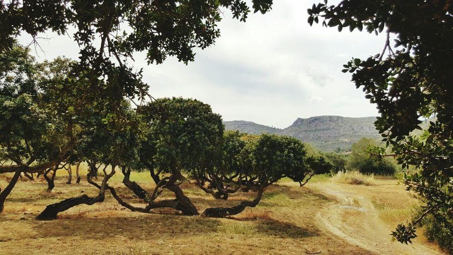 Chios Greece Sakız Adası Island Trees