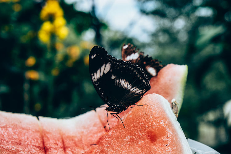 Close-up of butterfly perching on watermelon
