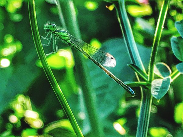 I've been trying to capture a dragon fly but haven't had luck finding any until now Nature Close-up No People Green Color One Animal Insect Insects  Insect Photography Macro Macro_collection Macro Photography Macro Insects