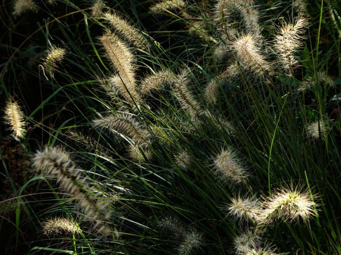 shine on!!!😘🙋🏼♀️ Kissed By The Sun Beauty In Nature Simple Beauty Simple Photography For My Friends 😍😘🎁 Lucky Me🦄 Cereal Plant Wheat Backgrounds Agriculture Full Frame Field Uncultivated Close-up Grass