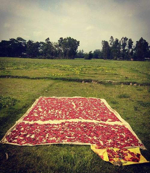 Red hot chili peppers ! Js Jashimsalam Photographer Photojournalism Dailylife Documentary Chili  Red Color Chittagong Landscape Sky Cloud Village Green Field Spice Dry Food Bangladesh Instagram Everydaybangladesh
