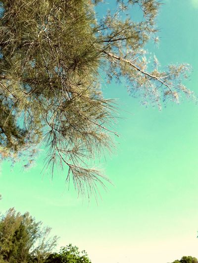 Beautiful Nature Green Landscapes Green Leaves Sharp Leaves Casuarina Tree Tree Leaves Against Sky Blue Sky Backgrounds Sky Close-up