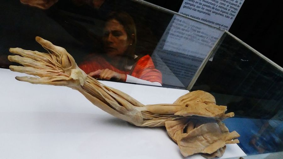 Inner hand-arm muscles, Expo Bodies, Viña del Mar Bodiesexhibt Expobodies Humanbody Hand Arm Innermuscles Anatomy Muscles Bodies