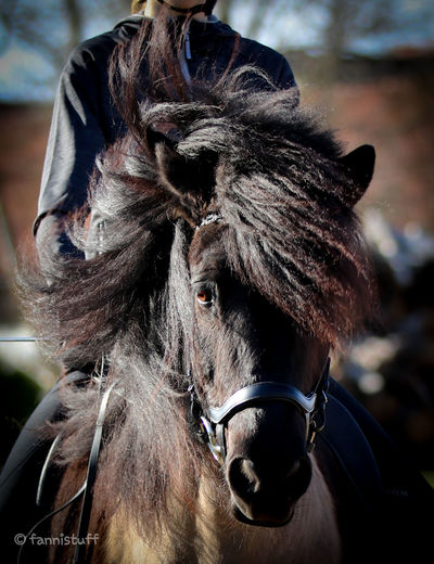 Icelandhorse