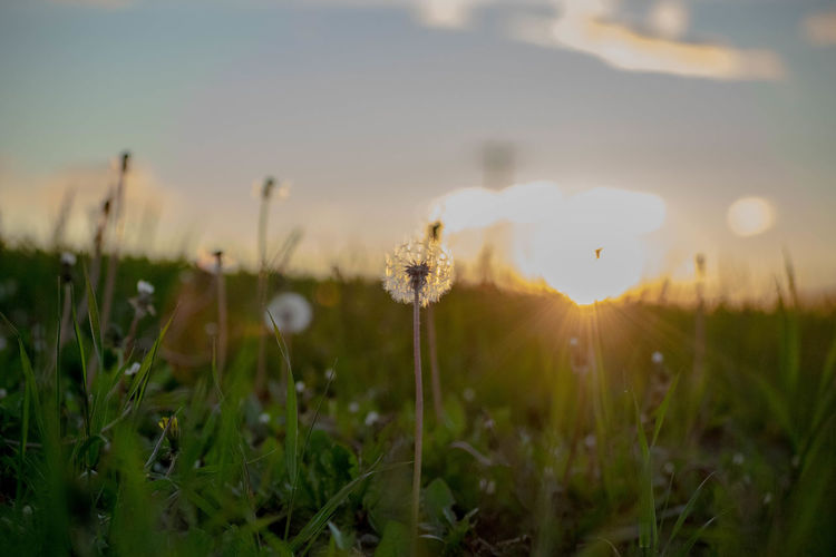 Setting sun through the dandelions Field Nature Peace Seeds Sunlight Tranquility Beauty Beauty In Nature Dandelion Dandelion Field Evening Flower Landscape Light And Shadow Springtime Summer Sun Sun Through The Field Tranquil Scene