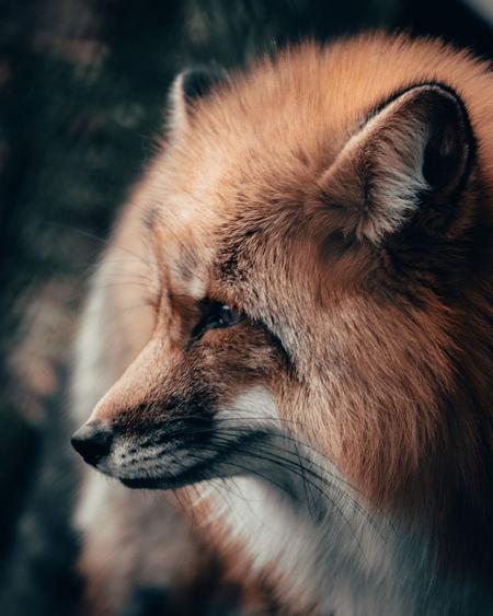 Fox One Animal