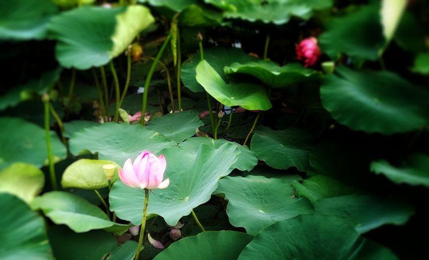 接天蓮葉無窮碧 映日荷花別樣紅 Lotus shots Lotus Leaves🌿 Lake Petal Summer Pink Color Beautiful Closeup Afternoon Zhangjiakou China Flower Leaf Pink Color Close-up Plant Green Color