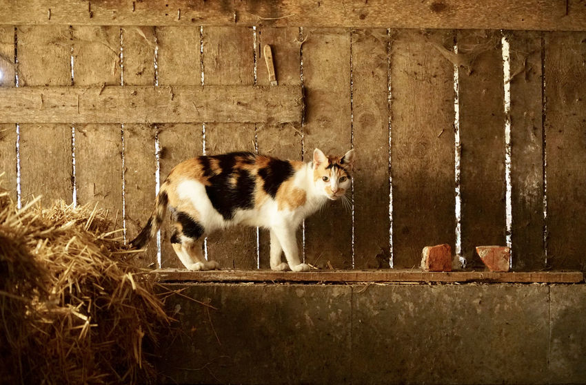 Cat in a wooden barn Barn Cat In Barn Cats Of EyeEm Farm Farm Life Tricolor Animal Themes Architecture Barn Cat Built Structure Cat Cat Lovers Cats Domestic Domestic Animals Domestic Cat Feline Female Cat One Animal Pets Side View Tricolor Cat Wall - Building Feature Whisker Wood - Material