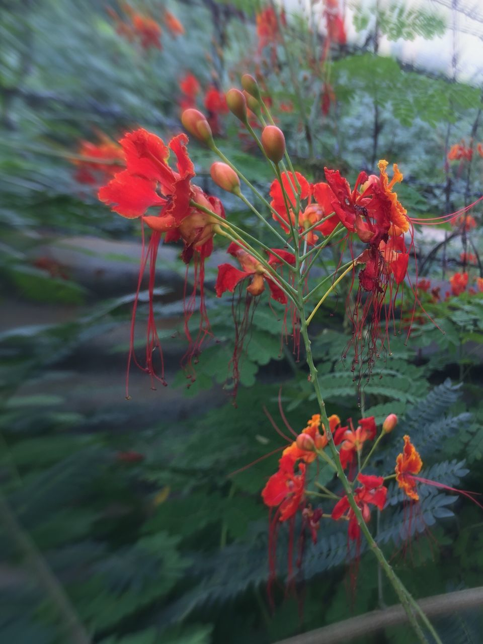 flower, growth, plant, nature, red, no people, fragility, petal, beauty in nature, freshness, outdoors, day, blooming, close-up, flower head