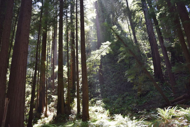 woods Sunrays Redwoods California Travel Tall Tree Muir Tree Forest Nature Tree Trunk WoodLand Pine Tree Growth California Dreamin My Best Travel Photo