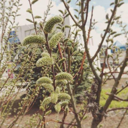 А в Волжском верба расцветает... весна Природа волжский Spring Nature Volzhsky Printempo Naturo