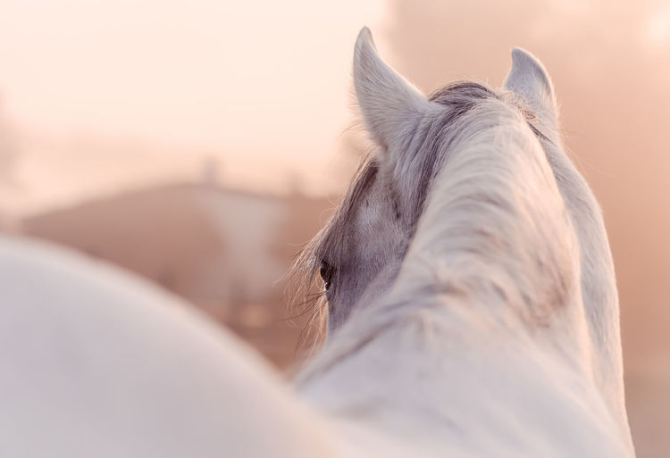 Fairytale  Horses Sunlight White Horse Animal Animal Body Part Animal Eye Animal Head  Animal Themes Animal Wildlife Close-up Domestic Domestic Animals Eyes Fairy Lights Focus On Foreground Herbivorous Horse Horse Photography  Livestock Mammal One Animal Sky Sunrise White Color The Week On EyeEm Editor's Picks