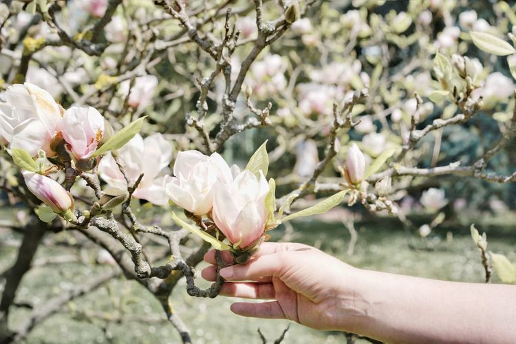 Magnolia Tree Magnolia Flower Leaves Hand Human Hand Tree Flower Branch Flower Head Springtime Women Holding Close-up Orchard Twig Magnolia Blossom In Bloom Plant Life
