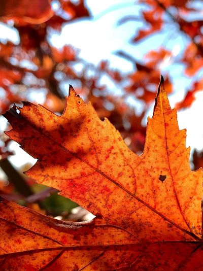 Orange Color Autumn Leaf Plant Part Change Nature Close-up Leaves Leaf Vein Plant Beauty In Nature Maple Leaf Red Focus On Foreground