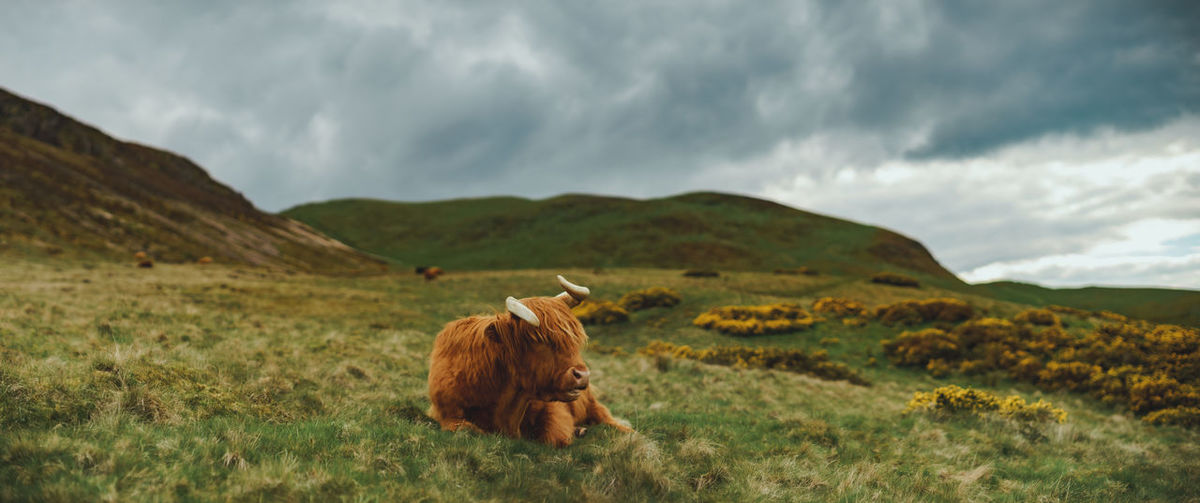 Moody panoramic view of resting highland cattle with dramatic sky