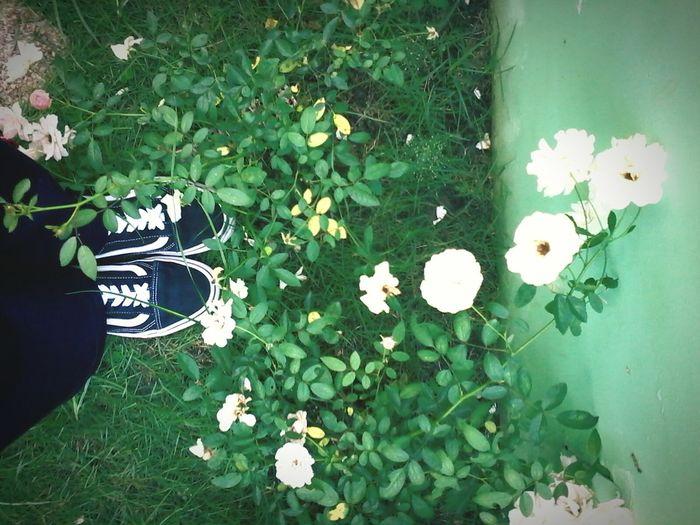 old skool Vansoldskooll Flower Head Philippines LitAF Lowkey ✌ Like4likeback Like4shoutout Likeforfollow Like4followers Likeforcomment Nature Likethisplease Likeforlike