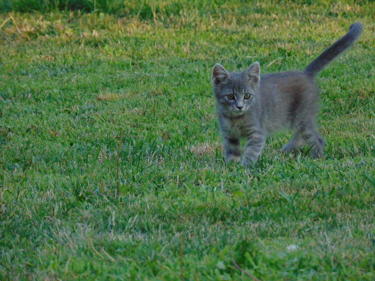 one animal, grass, animal themes, mammal, domestic cat, feline, field, outdoors, day, no people, looking at camera, nature, animals in the wild, pets, domestic animals, portrait