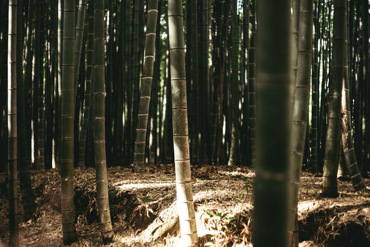 Bamboos growing in forest