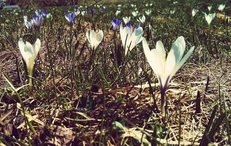 Crocus Mountains Nature Naturelovers Flowers