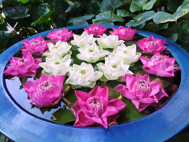 Flower Freshness Petal Fragility Nature Beauty In Nature Leaf Pink Color Bangkok Thailand Lotus Lotus Flower Lotus Water Lily Outdoors Plant Green Color Close-up No People Day