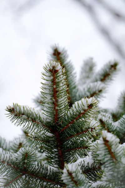 Pine Tree Nature Needle - Plant Part Spruce Tree Winter Fir Tree Close-up Selective Focus Snow OutdoorsBeauty In Nature EyeEm Gallery EyeEm Best Edits Eye4photography  EyeEm The Best Shots Photography Themes EyeEm Best Shots - Nature Nature Lover Nature On Your Doorstep Nature Collection Naturephotography Nature Beauty Nature_collection Cold Temperature