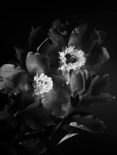 Black peonies Black Blackandwhite Summer Flowers Peony  PeonyBloom PeonyBloom Blossom Bouquet