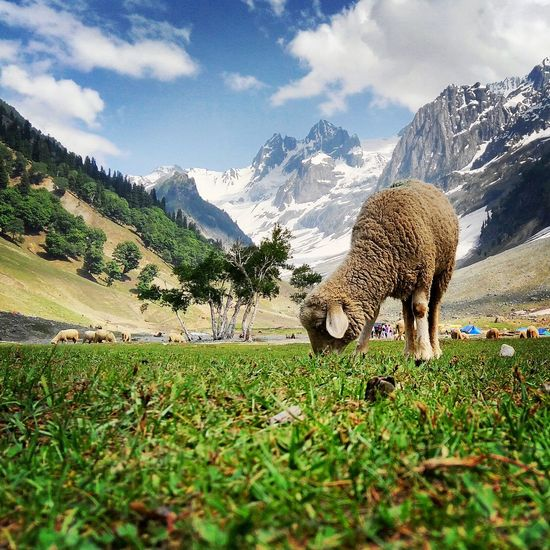 Surface Level Of Sheep Grazing On Grassy Field Against Mountains