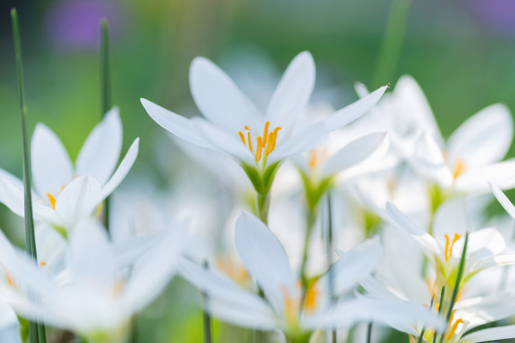 Close-up of white crocus flowers growing on field