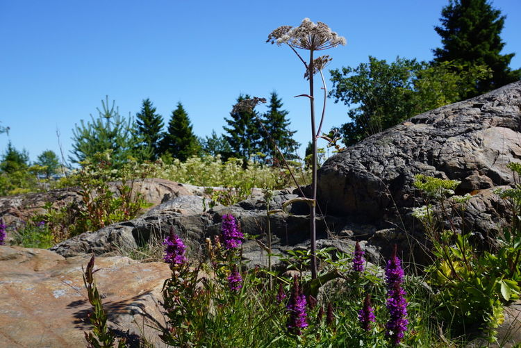 Sommertime Island Cliffs And Green Blue Sky Flowers Nature Angelica Kvanne sourrounded by Purple Loosestrife Fackelblomster Natural Beauty Flowers_collection