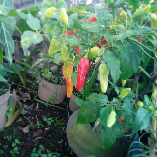 Chili  Pedas Lombok Rawit red