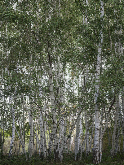Betula Pendula Natural Trees Beauty In Nature Birches Branch Forest Leaves Nature No People Outdoors Plant Scenics - Nature Stems Summer Tranquil Scene Tranquility Tree Trunks White