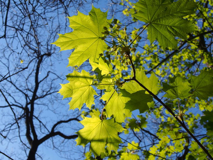 In a forest (Szczecin, April, 2019) Poland Nature Poland Maple Leaves Maple Tree Bright Sunny Day European Forest Foliage Branches And Leaves Uppon Blue Sky Branches And Leaves Fresh Leaves Light Green Leaves Tree With Leaves And Without Leaves Rib Nervure Leaf Veins Sunshine And Shadows Sunny Day Blue Sky Beginning Of Spring New Leaves Spring April Natural Condition Maple Leaf Freshness Flower Close-up Tranquility Outdoors No People Focus On Foreground Day Change Nature Low Angle View Growth Beauty In Nature Branch Leaf Tree Plant Part Plant Yellow